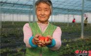 草莓大棚的女工辛玉荣向记者大棚刚结出的草莓。_副本.jpg