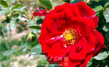 月季在春风中盛放,满是热情_副本.jpg