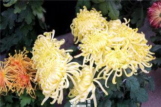 11月1日―20日,2018年锦绣川景区秋季菊展举行,现场展出120余种、5000余盆各色菊花,吸引众多市民游客前来观看。(大众网记者 刘龙飞 摄影报道)