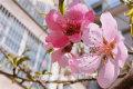 三月份的欧博娱乐街头,春意暖融,草长莺飞,桃花、梨花、海棠花……繁花尽放,迎来一年中最美的赏花季。近日,记者走上街头,将镜头对准这些姹紫嫣红,记录下那些花儿。(大众网・海报新闻记者 翟岩 摄影报道)