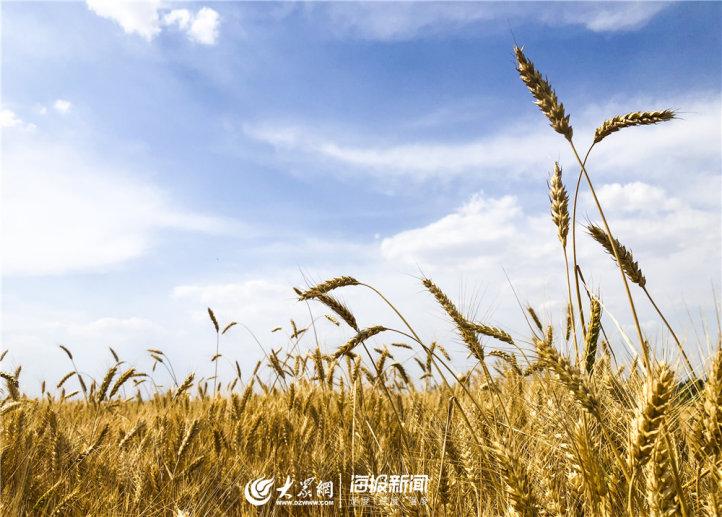 6月10日下午,清空万里,微风吹过,金黄的谷穗儿在阳光下轻轻摇曳。